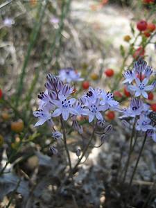 Scilla autumnalis (near the Lasithi Plateau)