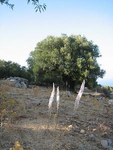 Urginea maritima (near Hersonissos)