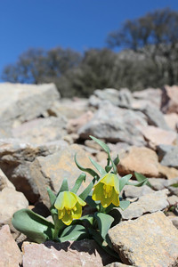 Fritillaria pelinaea - endemic to Chios, entry to NRV photographic competition 2011