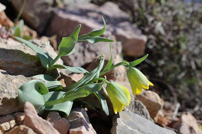 Fritillaria pelinaea - endemic to Chios