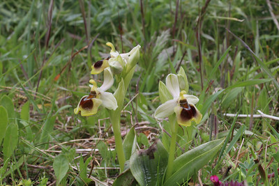 Ophrys tenthredinifera in a pale form