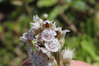 Orchis lactea - note the green base of the sepals