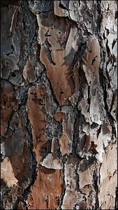 Pine bark (cont'd)