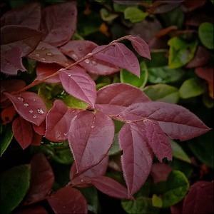 Red Leaves with Water Drops