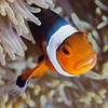 Clownfish in Komodo National Park