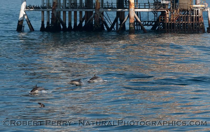 Delphinus capensis & Platform Holly close 2010 04-07 SB Channel - 006