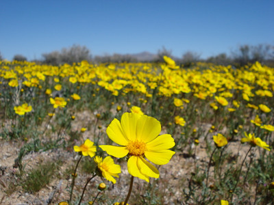 Wildflowers in the Mojave desert coming home from Anaheim.