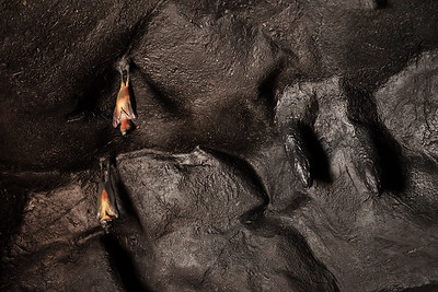 hanging bats in cave