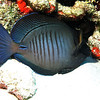 A sleeping Surgeonfish usually found in the Caribbean and the tropical Atlantic Ocean. May also be called a Blue Tang