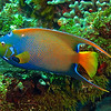 Large Queen Angelfish