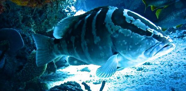 25-30 pound Grouper