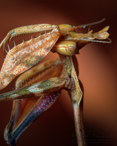 PlayingMantis