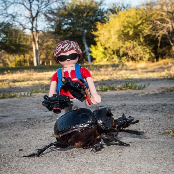 Elehant dung beetle. Roy's Camp, Otjozondjupa Namibia