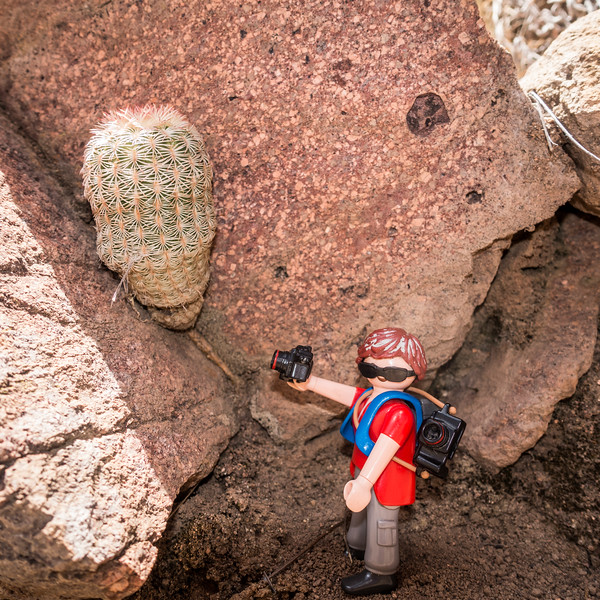 Playmobil photographer and a Arizona rainbow cactus,  Echinocereus rigidissimus (Cactaceae).  Little Scotia Canyon, Coronado National Forest, Huachuca Mountains, Cochise Co., Arizona USA