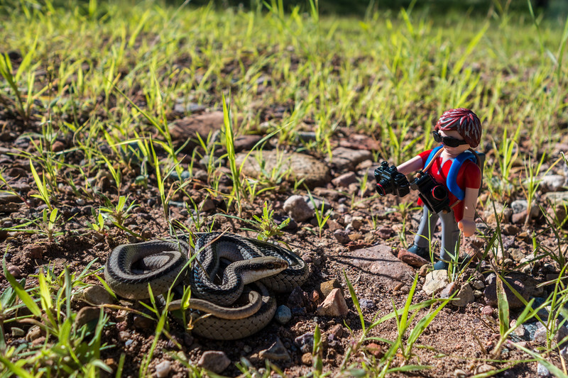 Playmobil wildlife photographer with eastern patch-nosed snake, Salvadora grahamiae (Colubridae). Gardner Canyon, Cochise Co, Arizona