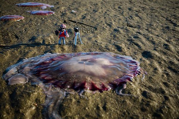 compass jellyfish, Chrysaora sp.  (Pelagiidae). Walvis Bay, Erongo Namibia