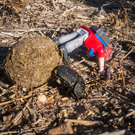 Helping out an elephant dung beetle friend. Khaudum N.P., Kavango Namibia