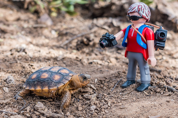 Playmobil photographer and a baby Sonoran Desert Tortoise, Gpherus morafkai (agassizii) (Testudinidae). Tucson Mountains, Tucson, Pima Co., Arizona USA