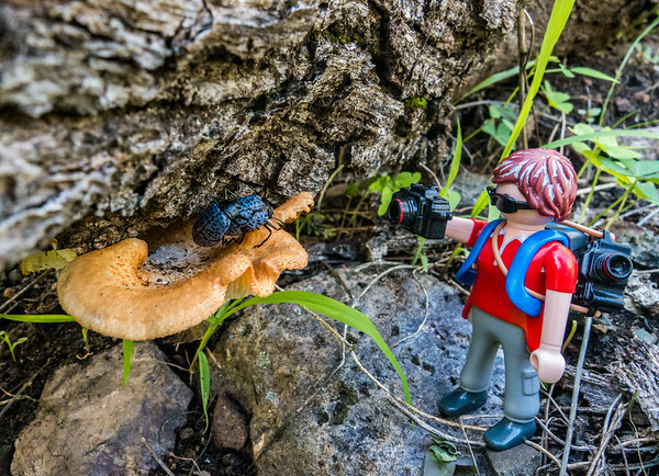 Playmobil photographer and mating pleasing fungus beetles, Gibbifer californicus (Erotylidae). Gardner Canyon, Santa Rita Mountains, Pima Co. Arizona