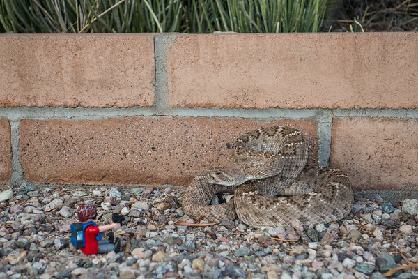 Playmobil photographer going in close to capture a western diamond back rattlesnake, Crotalus atrox (Viperidae). Tucson, Pima Co. Arizona