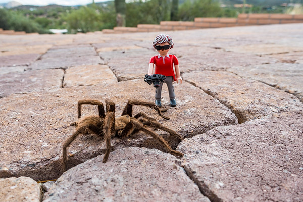 Playmobil mini-me photographer and Arizona blonde tarantula, Aphonopelma chalcodes . Tucson, Arizona