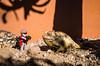 ground chameleon. Swakopmund, Erongo Namibia
