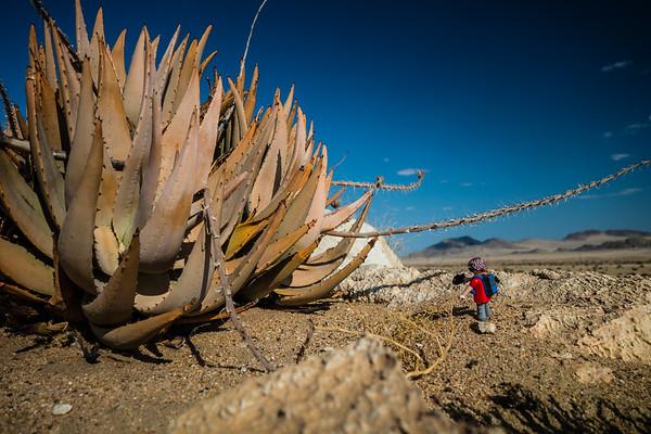 aloe, Aloe sp. (Aloaceae). Kahn Valley, Erongo Namibia