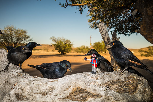 curious starlings (pale-winged). Abu Huab, Kunene Namibia