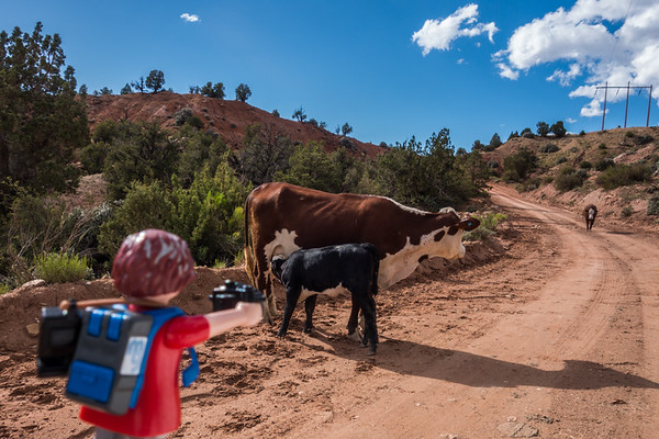 Playmobil photographer and  domestic cattle, Bos primigenius (Bovidae). Cottonwood Canyon Road, Utah