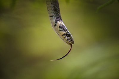 The grass snake (Natrix natrix) / Užovka obojková