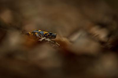 Fire salamander (Salamandra salamandra) / Salamandra škvrnitá