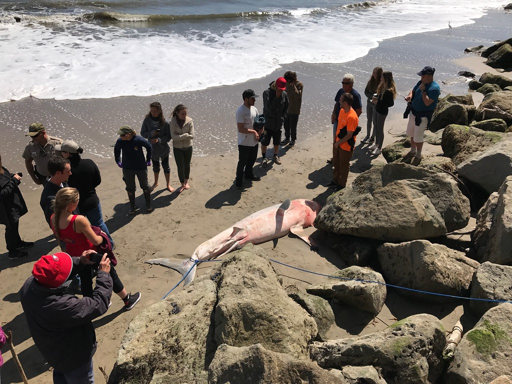 . Spectators gather around the body of a great white shark that died near Capitola Wharf on Saturday, April 8, 2017. (Joe Flowers -- Contributed)