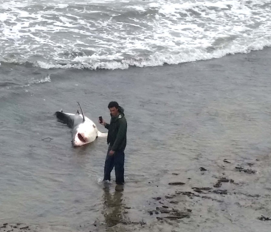 . A man photographs a 10-foot shark stranded near Pleasure Point on Friday afternoon. (Mark Shwartz -- Contributed)