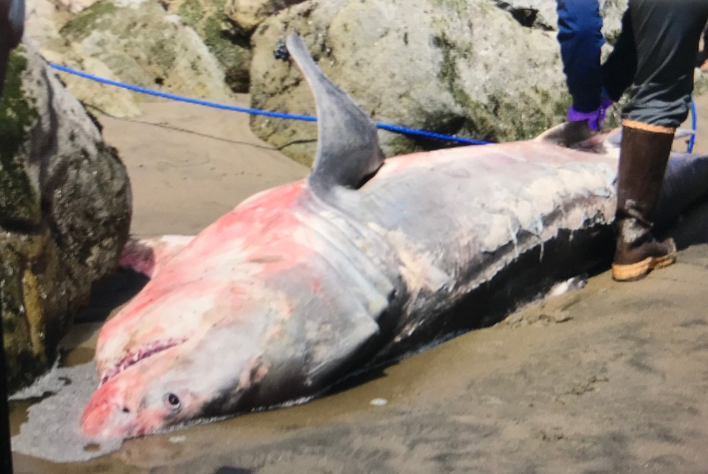 . A sub-adult male great white shark lay dead on the beach near the Capitola Wharf Saturday April 8, 2017, as it was about to be loaded on a truck for testing. (Joe Flowers -- Contributed)