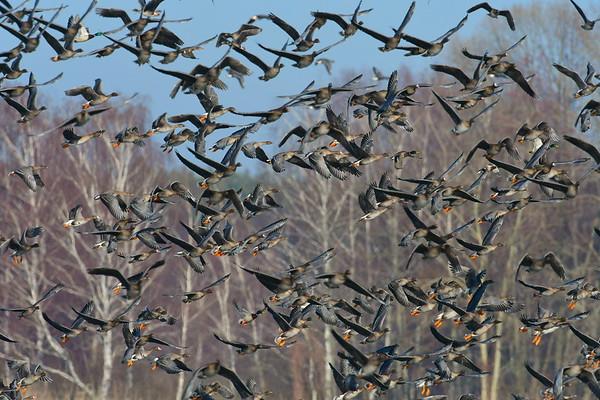 Początek wiosennych migracji gęsi