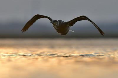 Kormoran ©Paweł Pawlak