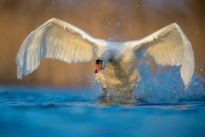 Biały czarnoksiężnik