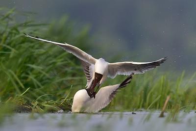 Mewa śmieszka. pomimo tego że to ptak kolonialny, zachowania przy gniazdach bywają bardzo terytorialne. ©Paweł Pawlak - fotografia przyrodnicza