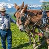 4. Larry Waters readies his half-Belgian mules for the Plowing bee.