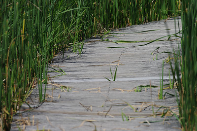 Path through the Marsh