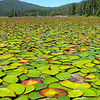 Round Valley Lake Lily pads