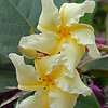 Chonemorpha fragrans