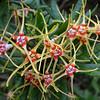 Strophanthus speciosus <br /> Corkscrew Flower<br /> Royal Botanic Gardens, Sydney, Australia.  <br /> Family: APOCYNACEAE<br /> Origin: Southern Africa
