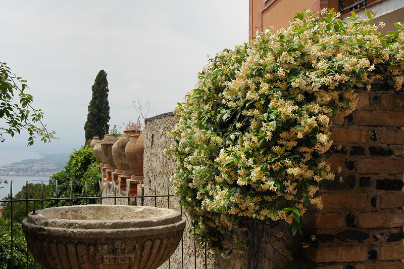 Trachlespermum jasminoides