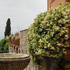 Trachlespermum jasminoides<br /> Taorimina, Sicily, Italy.