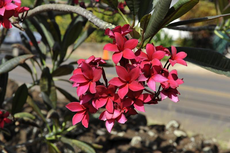 Red garden variety, Kauai, Hawaii.