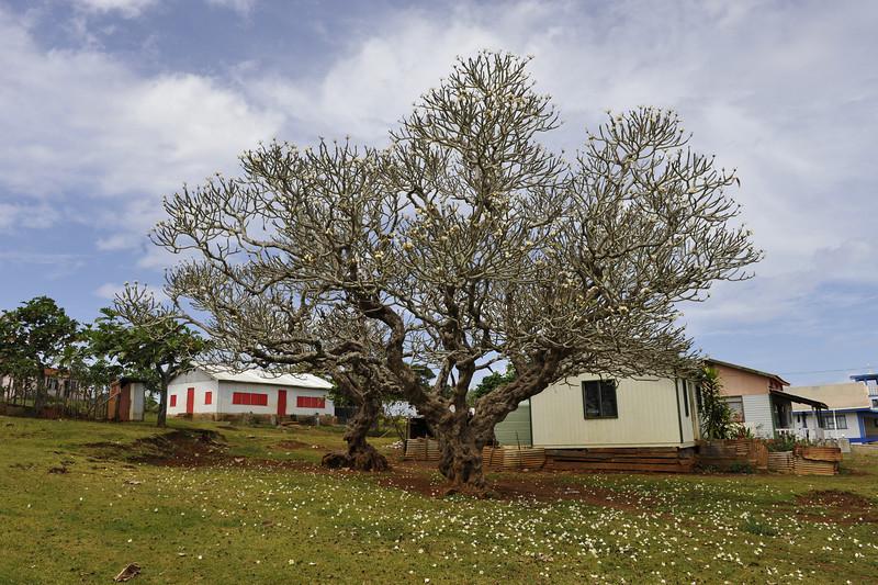 Plumeria <br /> Location: Countryside, Tonga.