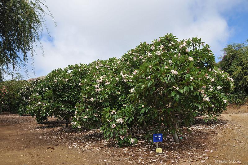 Dean Conklin Plumeria Garden at Koko Crater, Hawaii.