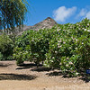 Dean Conklin Plumeria Garden at Koko Crater, Hawaii.