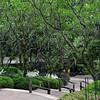 Plumeria at Singapore Botanic Gardens.
